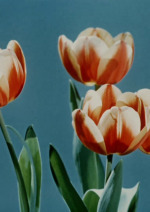 Jak žije květ tulipánu